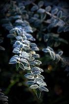 Pflanze mit Morgenreif