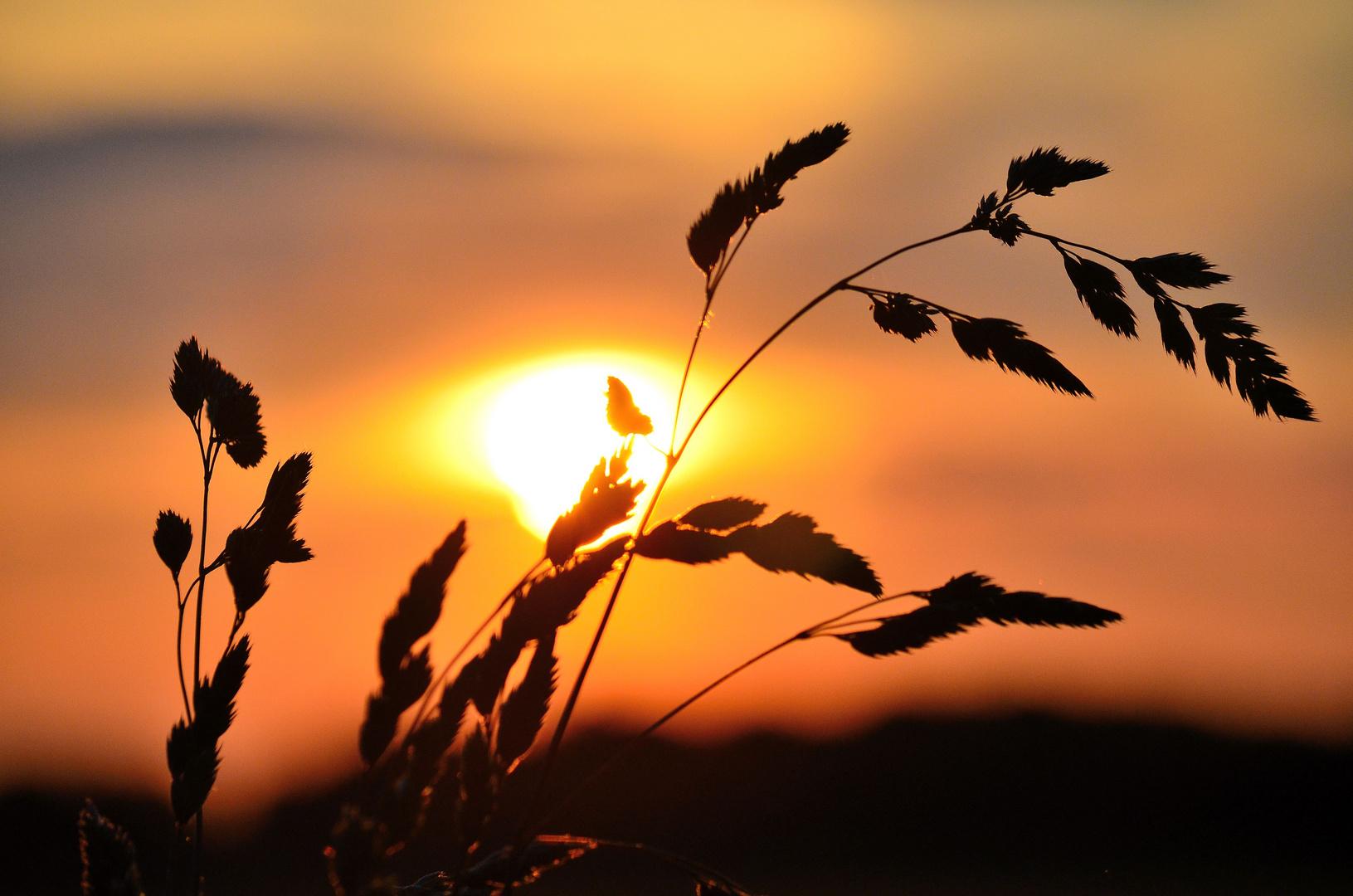 Pflanze vor Sonnenuntergang