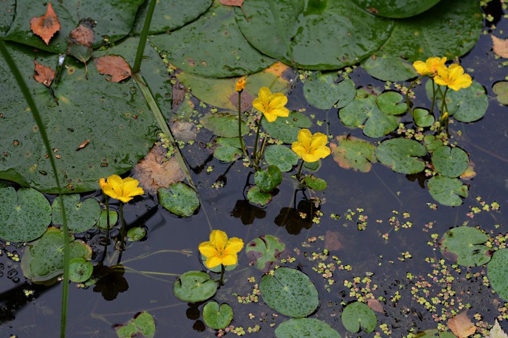 Pflanzen am und im Teich 3 Die Seekanne