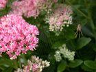 Pflanzen für Faule: Sedum spectabile