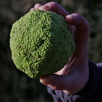 Pflanzenrätsel Tennisball-Cellulitis?