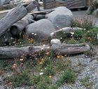 Pflanzenreichtum auf den Lofoten