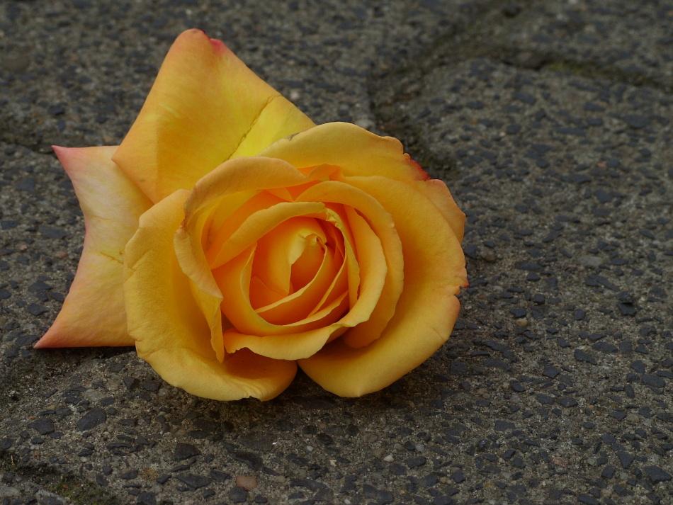 Pflaster-Rose