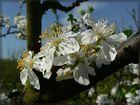 Pflaumenbaum in Blüte