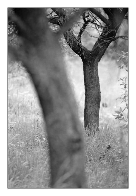 Pflaumenbaum mit Pflaumenbaum