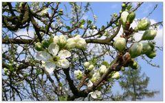 Pflaumenbaumblüte