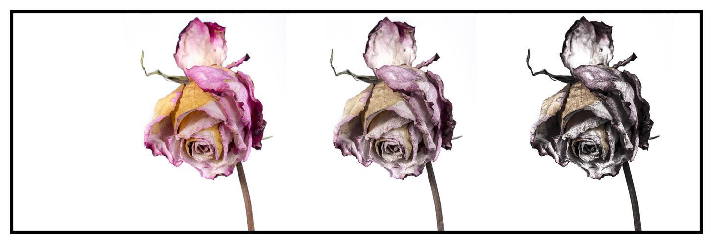 Pflück Rosenblüten solange du kannst...