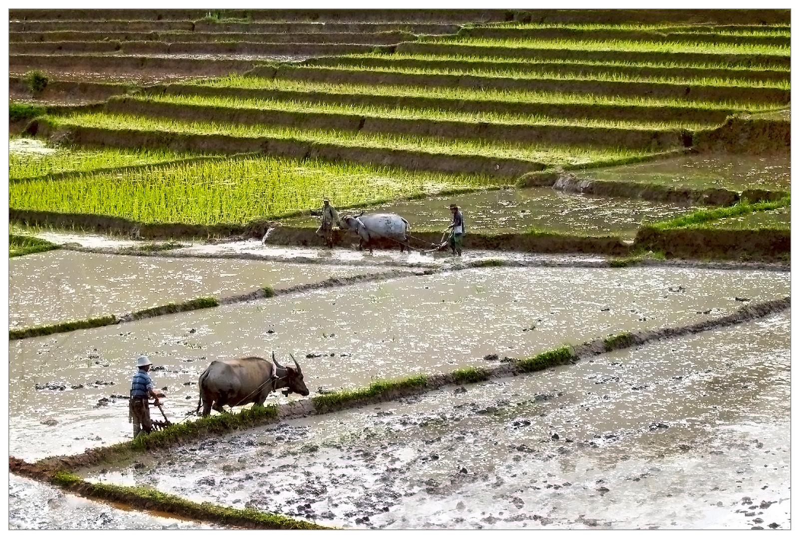 Pflügen nostalgisch - Birma