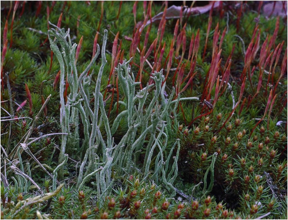 Pfriemen-Cladonie (Cladonia subulata)