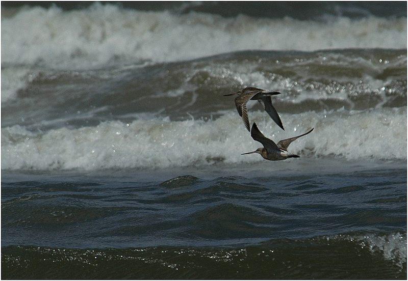 Pfuhlschnepfen vor Meereswogen