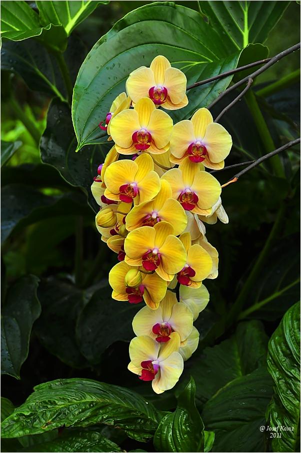 Phalaenopsis..