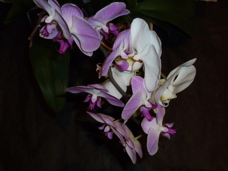 # Phalaenopsis...#