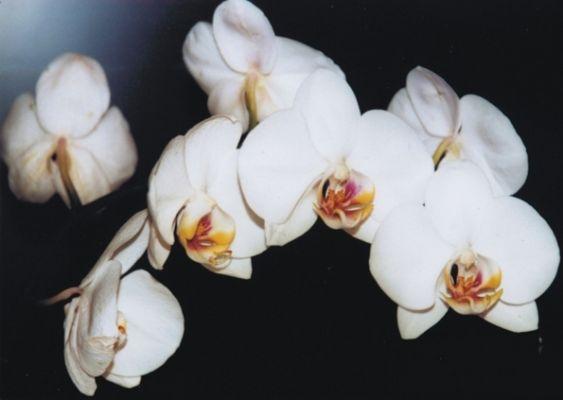 """"""" Phalaenopsis """""""
