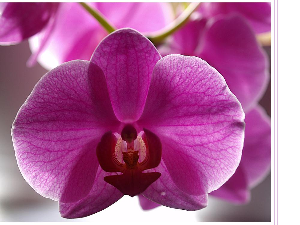 *Phalaenopsis*