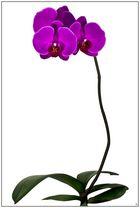 Phalaenopsis Aphrodite Purpurrot