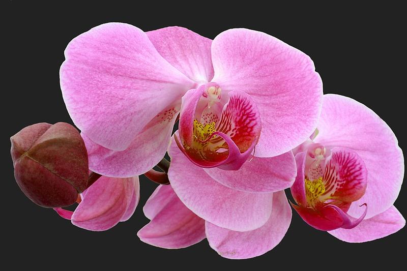 - Phalaenopsis -