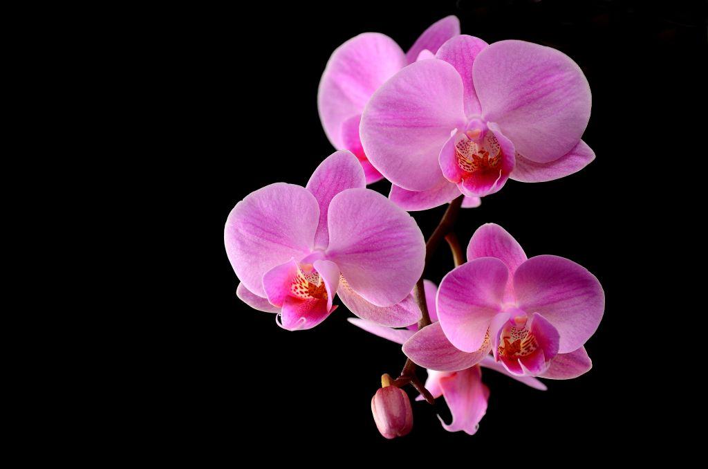 Phalaenopsis bei 5,6
