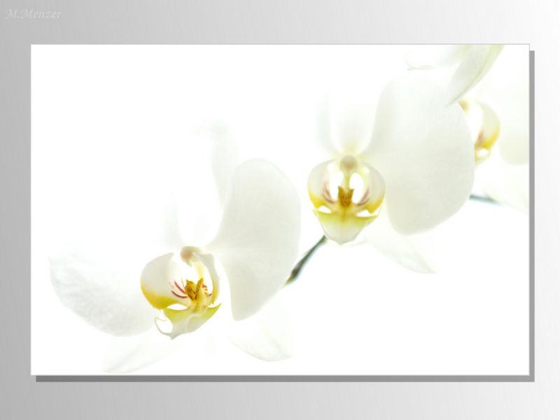 Phalaenopsis bei ISO-3200