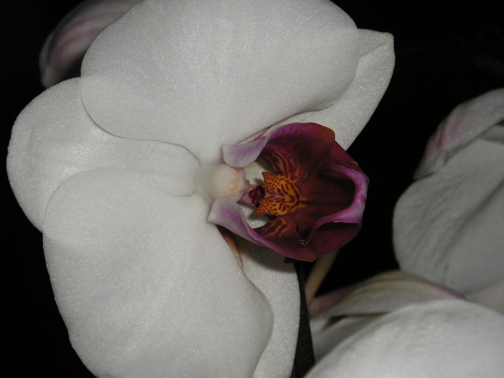 Phalaenopsis Blütenmakro