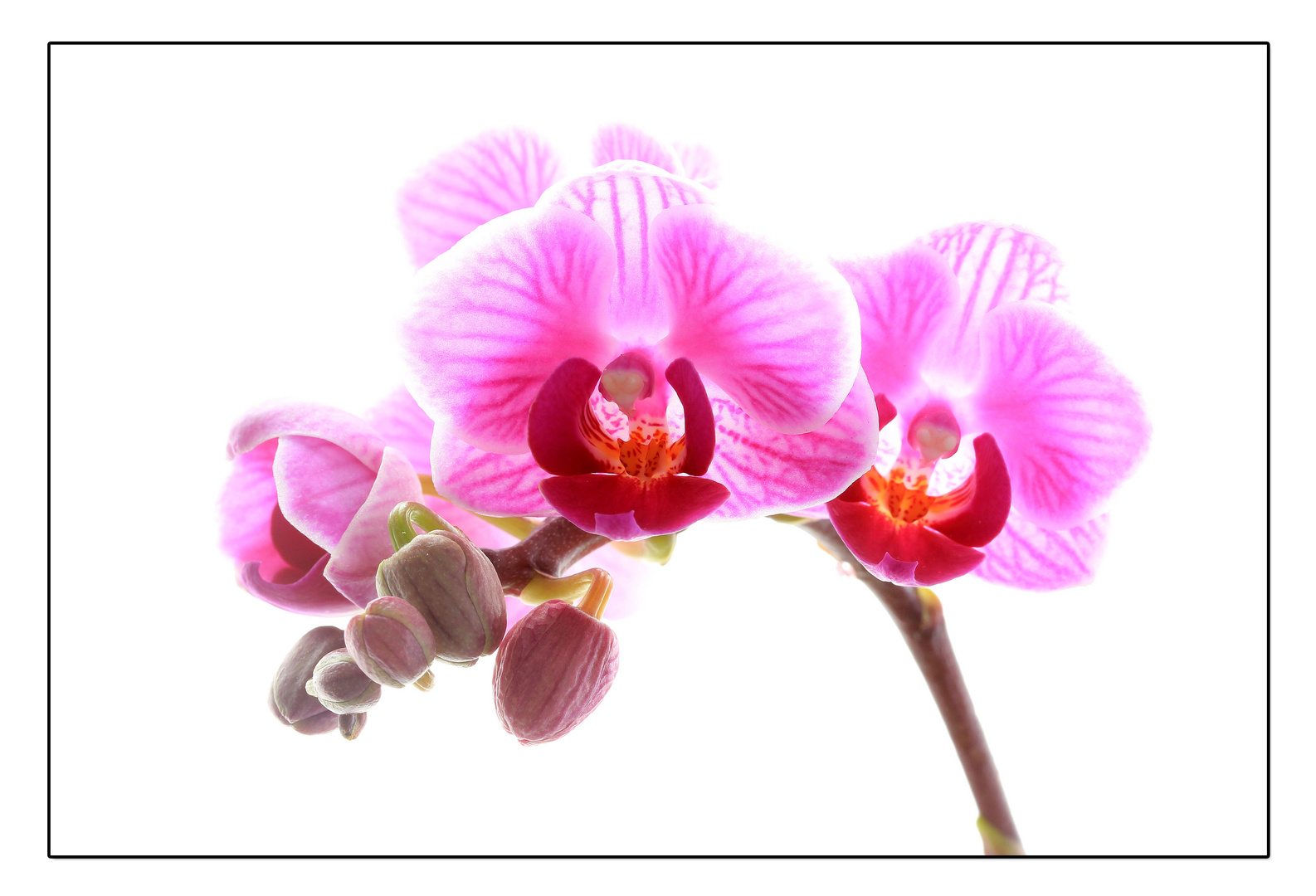 ~ phalaenopsis calimero ~
