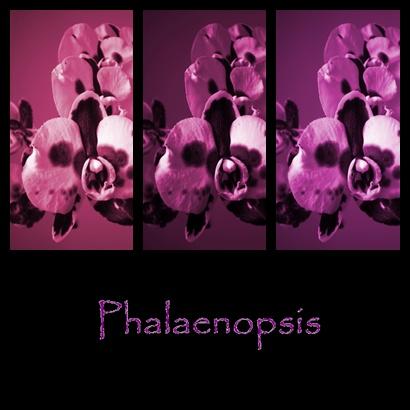 Phalaenopsis - Collage (meine erste..)