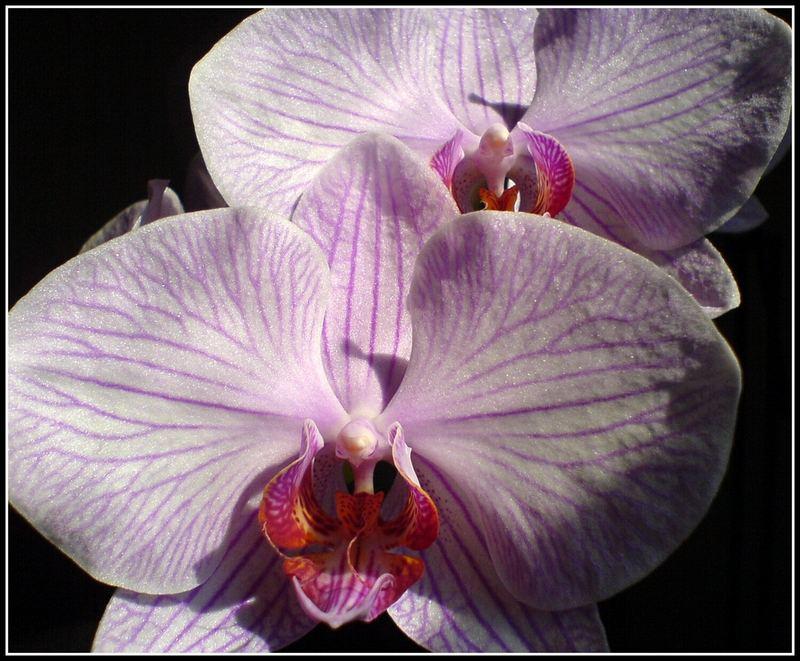 Phalaenopsis Elegancia Sweetheart