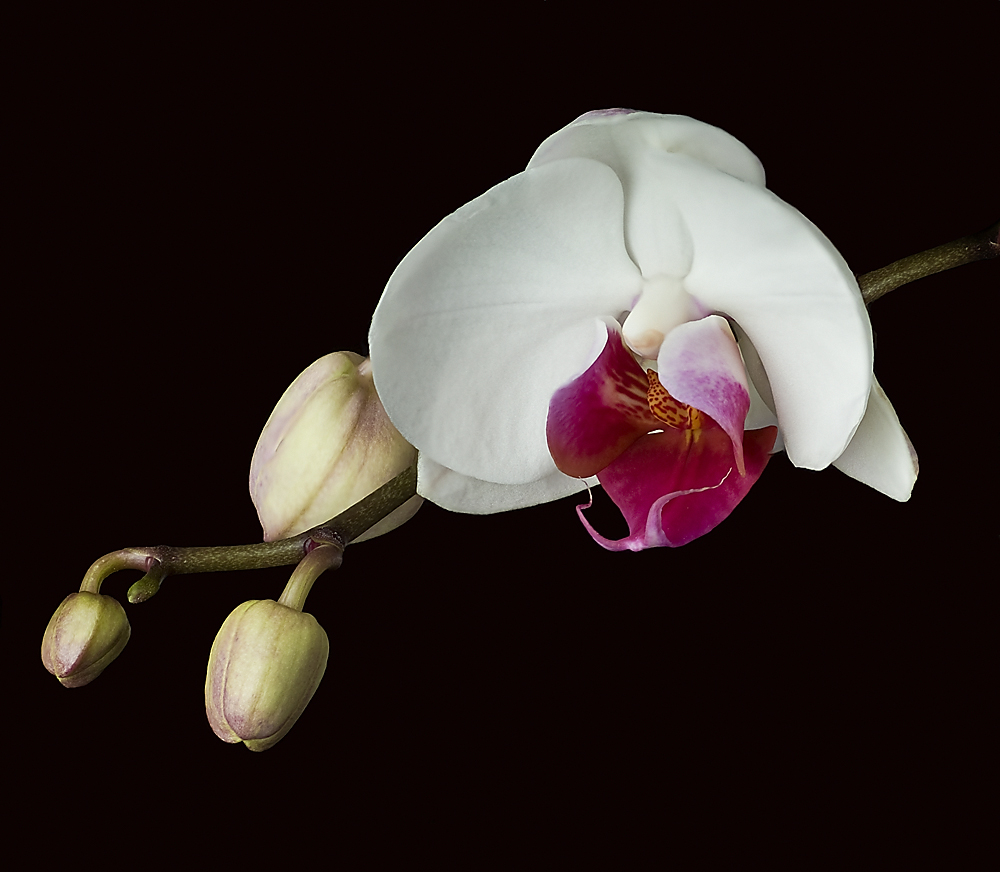 Phalaenopsis - Falterorchidee