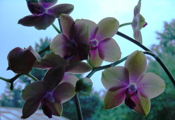 Phalaenopsis gegen das wenige Licht