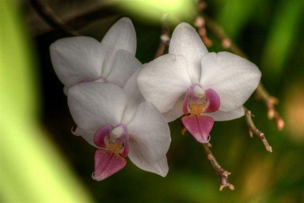 Phalaenopsis-Hybride