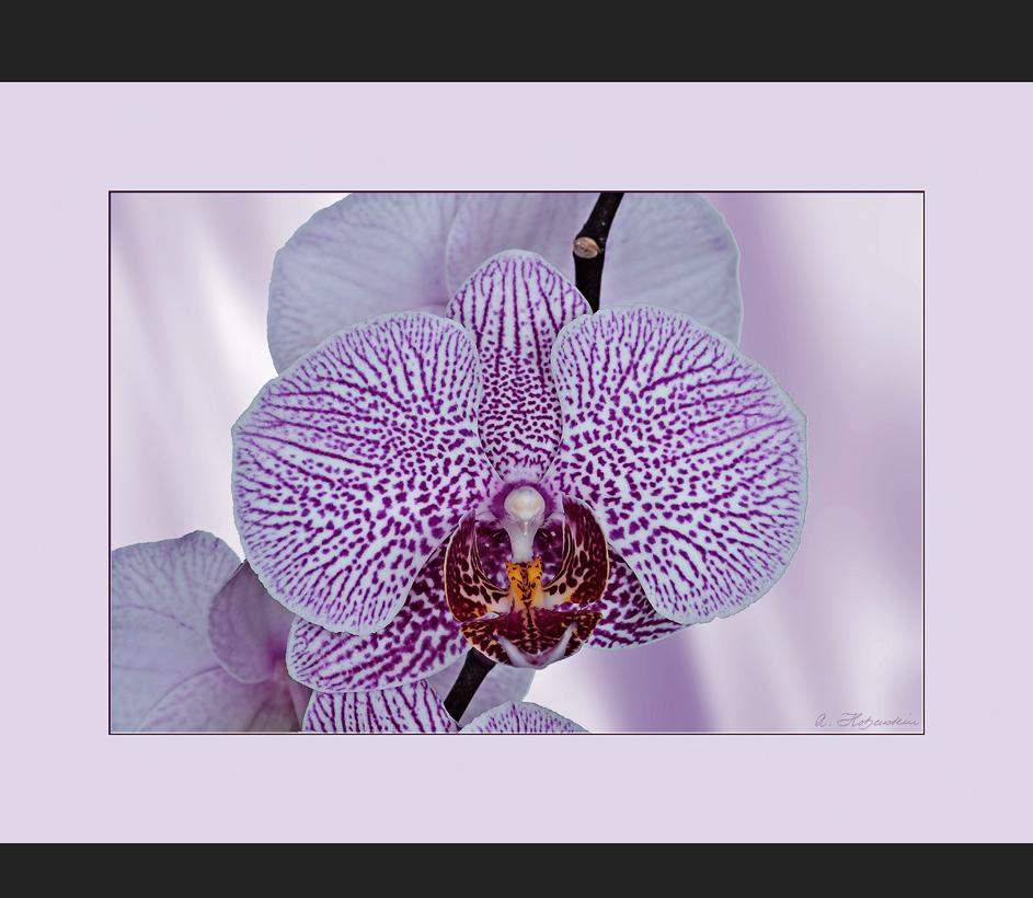 Phalaenopsis-Hybride.....