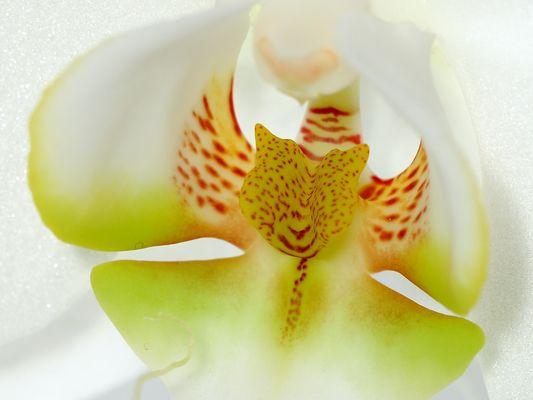 Phalaenopsis Hybride [Makro] II