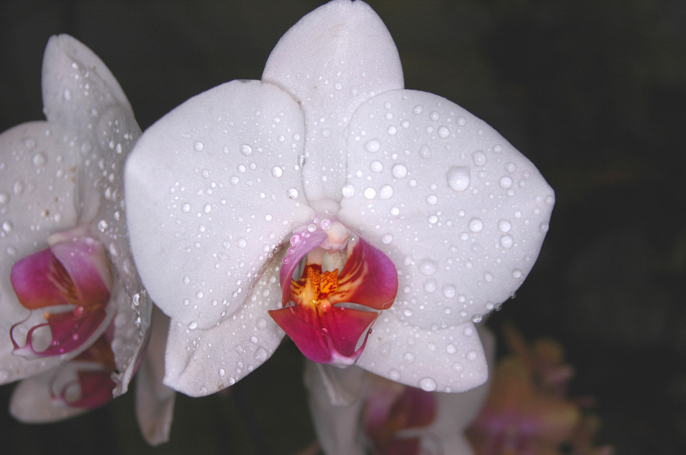 Phalaenopsis im Regenwald