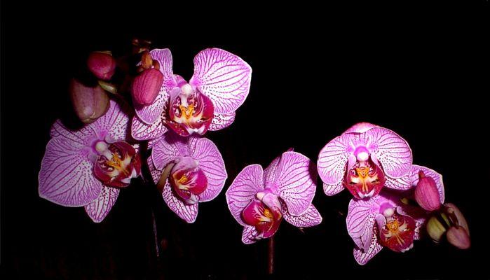 Phalaenopsis in voller Blüte