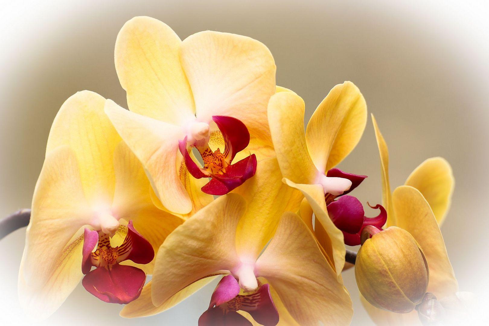 Phalaenopsis in voller Pracht