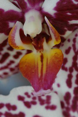 Phalaenopsis-Lippe