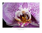 "Phalaenopsis – Orchideen der Sehnsucht - ""Leopard Prince"""