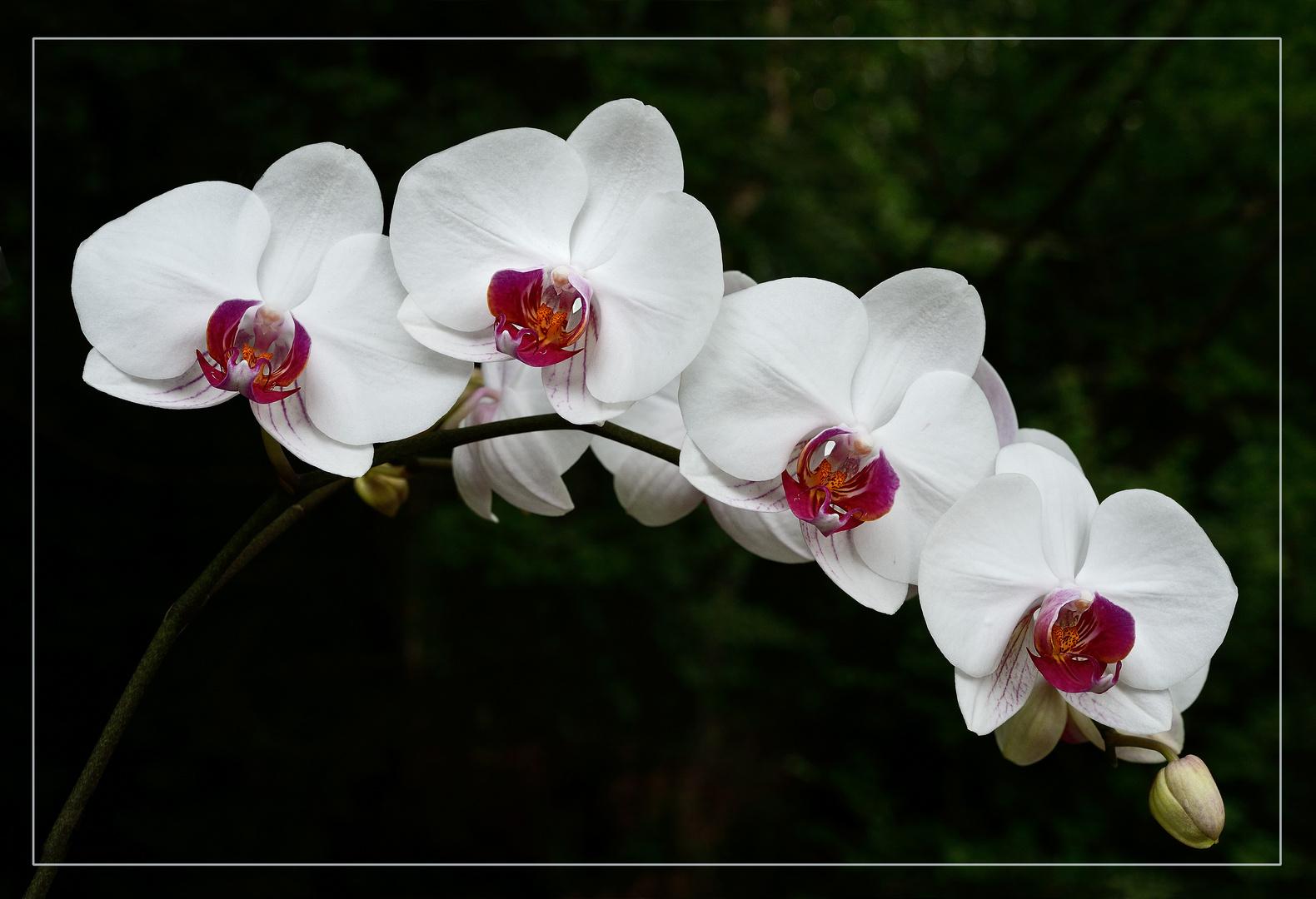 phalaenopsis orchideen in weiss foto bild pflanzen. Black Bedroom Furniture Sets. Home Design Ideas
