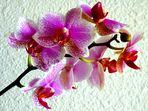 phalaenopsis pointillé