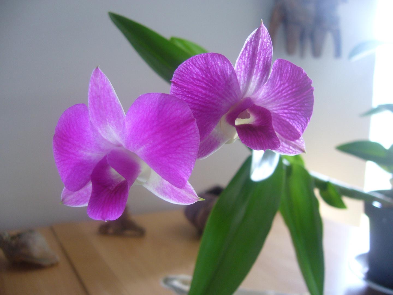 Phalaenopsis tholusis