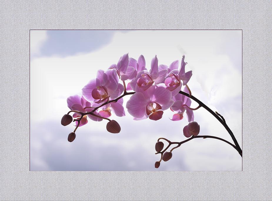 """Phalaenopsis, """"überm Winter gebracht, mit neuer Blüte"""""""