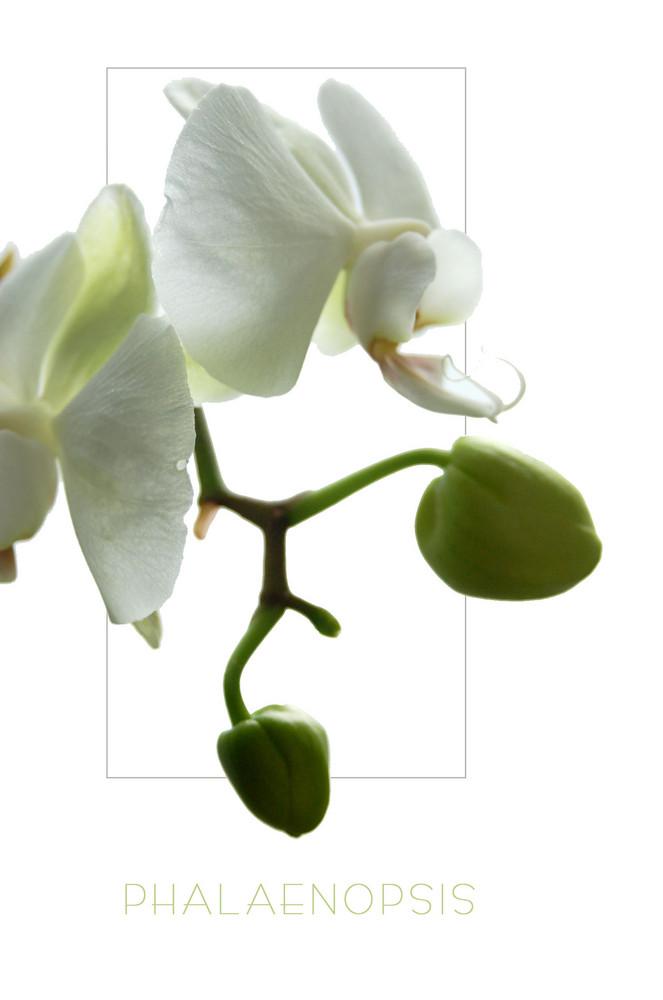 Phalaenopsis weiß