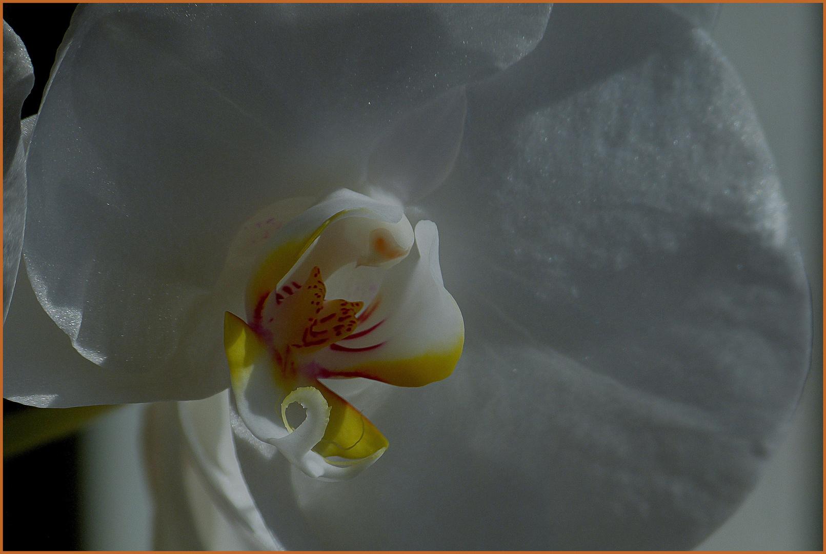 Phalaenopsisblüte