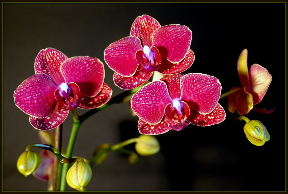 Phalaenopsisblüten