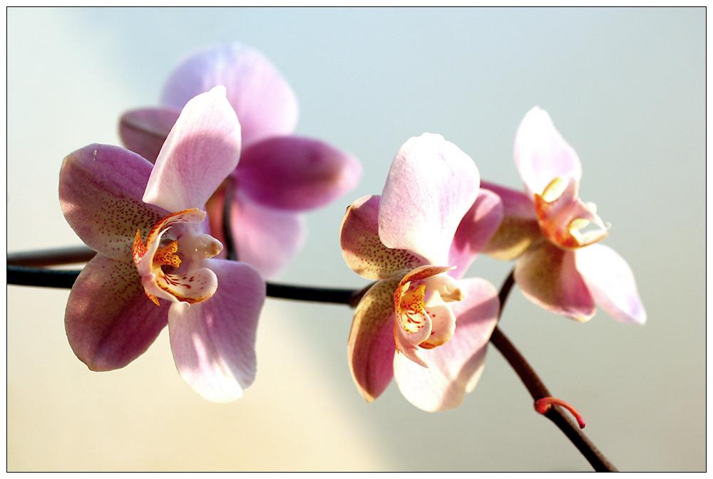 [Phalaenopsis][III]