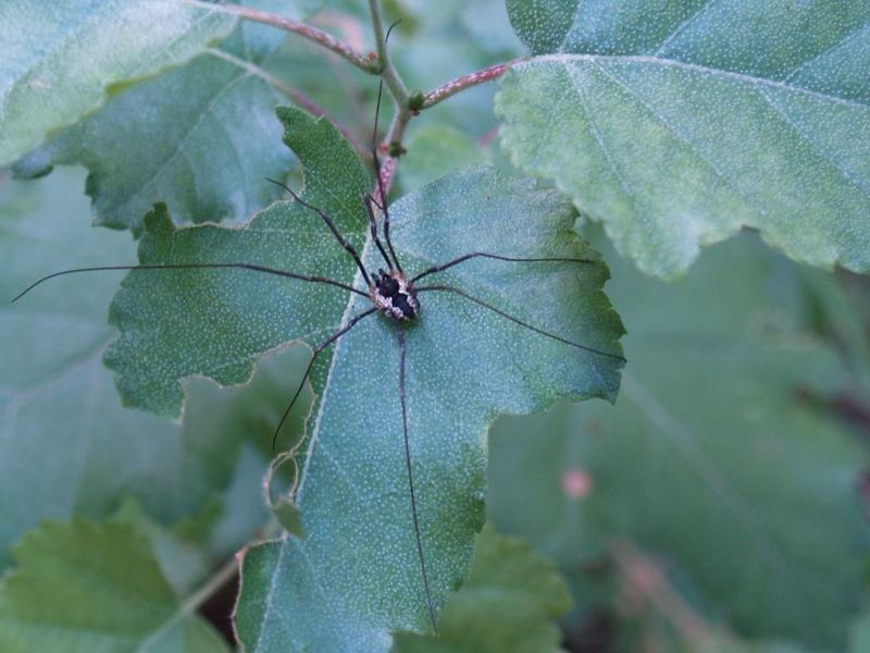 phalangium opilio-long legs