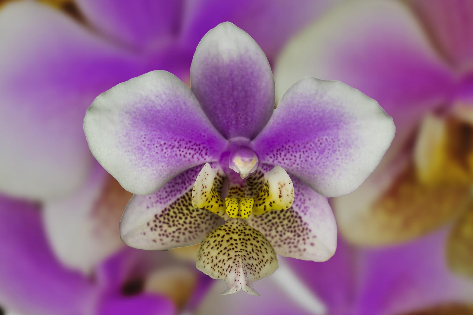 Phalanopsis Orchidee