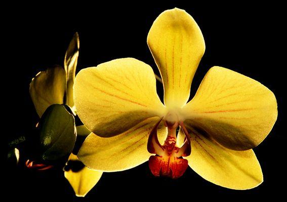 Phaleonopsis Orchidee