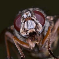Phaonia tuguriorum (Muscidae)