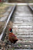 Pheasant on the Railway oder Der Gleisgänger