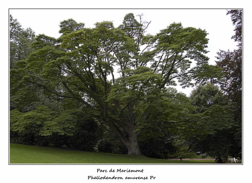 Phellodendron de l'Amour